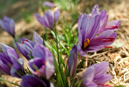 saffron crocuses